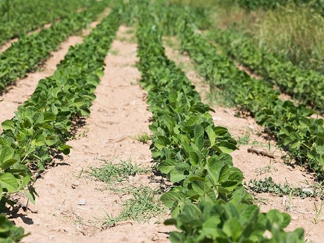 Izvještaj Ministarstva poljoprivrede- Soja ponovo na posavskim poljima