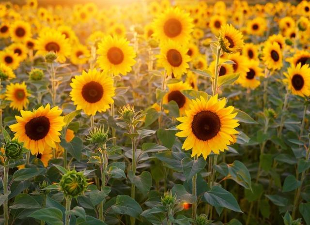 Suncokret – cvijet sunca sa čudesnim ljekovitim svojstvima