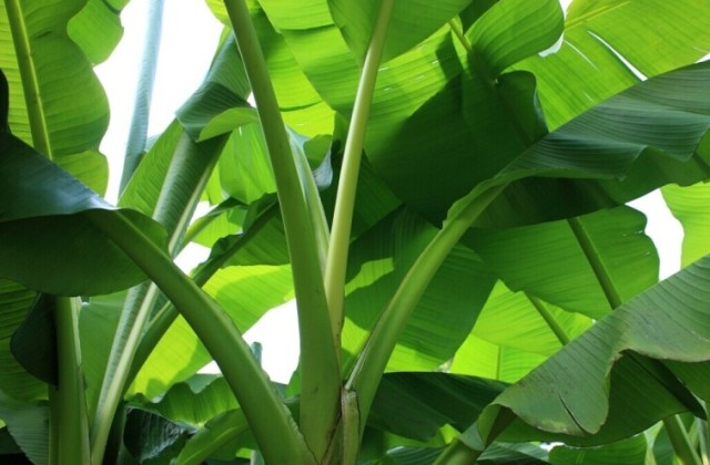 Uzgojite bananu kao atraktivnu sobnu biljku