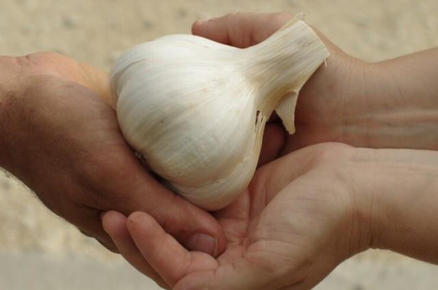 Slonovski bijeli luk: Sadi se kao i obični, ali je blažeg okusa