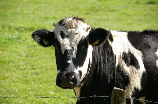 Naredne sedmice predavanje o ishrani muznih krava