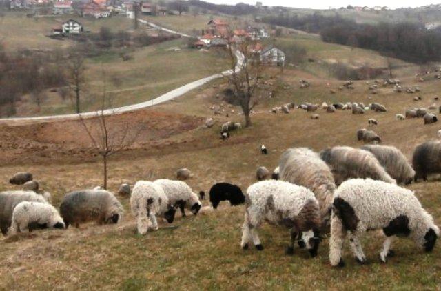 Smanjen broj stoke oboljele od bruceloze u Krajini