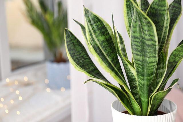 Stavite ovu biljku u spavaću sobu i zrak će vam biti čišći