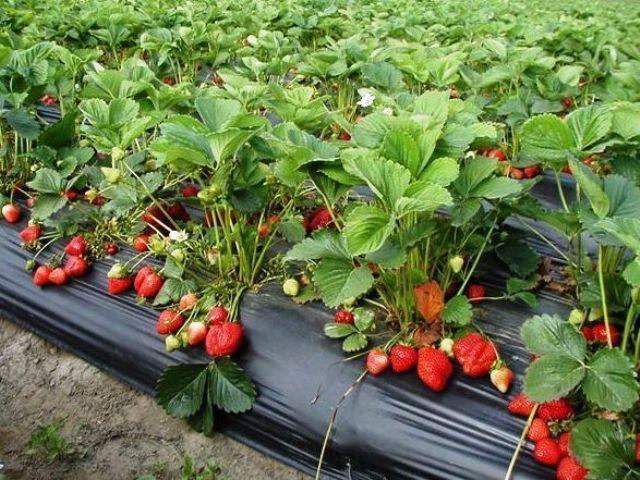 Gračanica: Javni poziv za podršku proizvođačima jagoda
