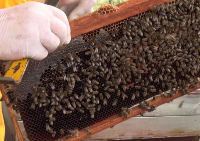 Šta ne znamo o pčelama, šta trebaju znati pčelari, a šta kupci?