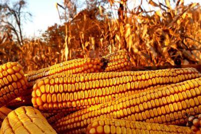 kukuruz-poljoprivreda-foto-1.jpg