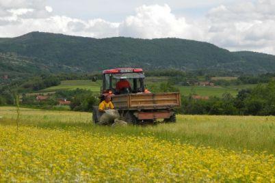 poljoprivreda-kamilica-polje-bilje-1.jpg
