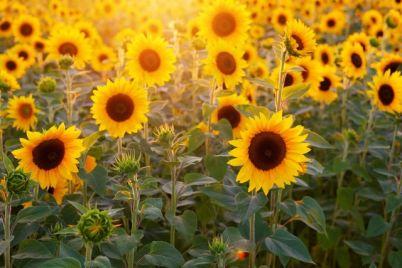 suncokret-pixabay-1.jpg
