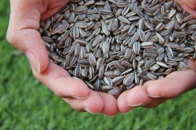 sunokret-sjemenke-1.jpg