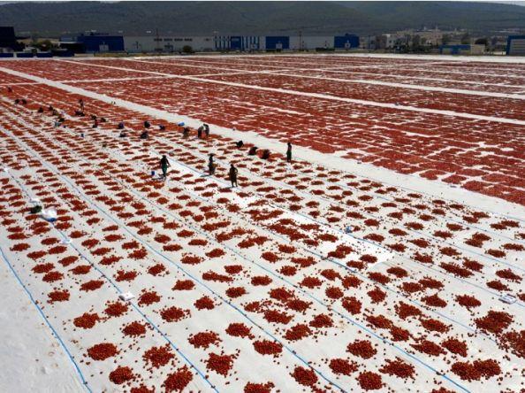 /FOTO/ Sezona sušenja paradajza na suncu u crveno obojila polja